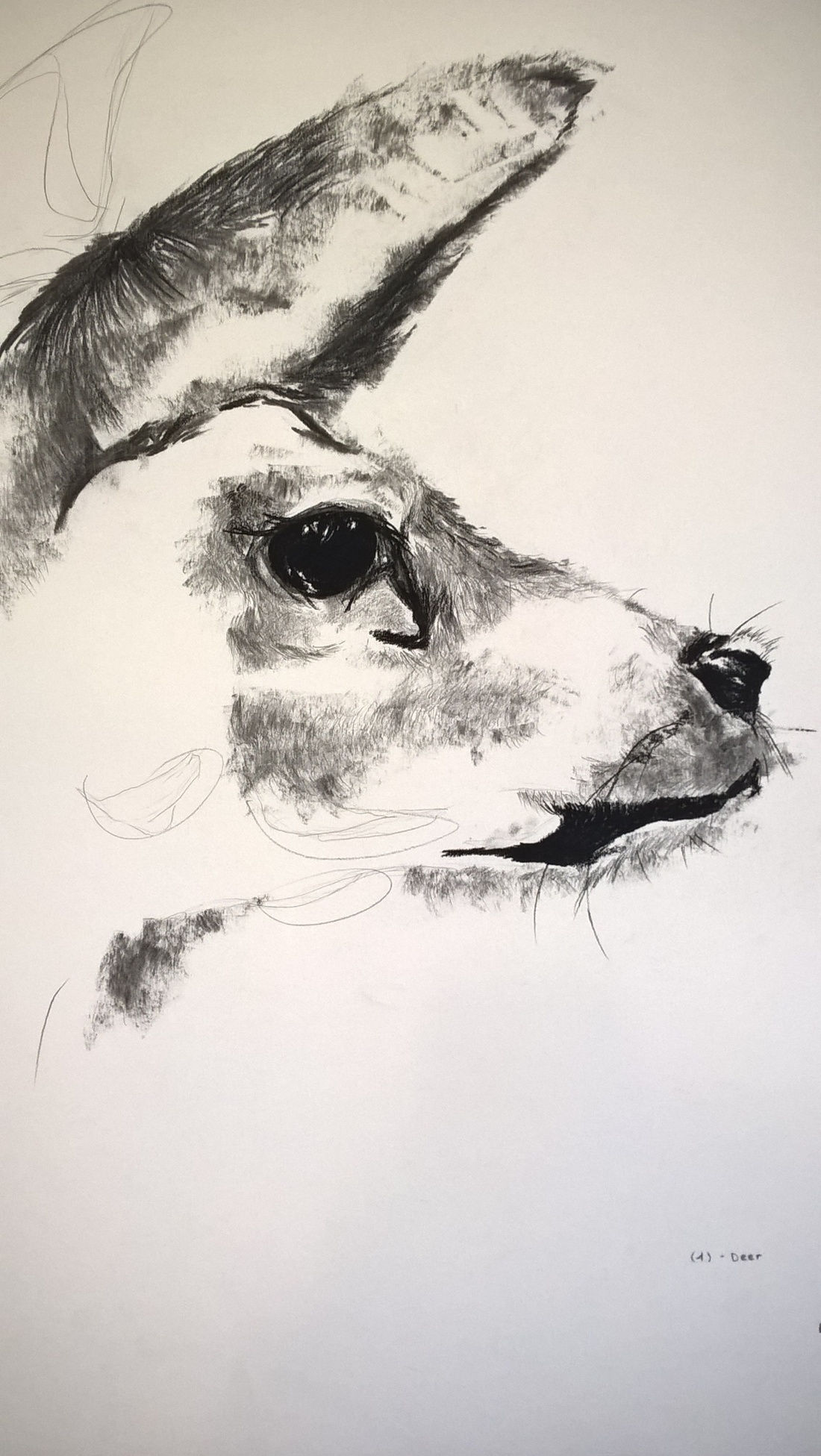 Unfinished- charcoal doe drawing on A3 paper. Small grain