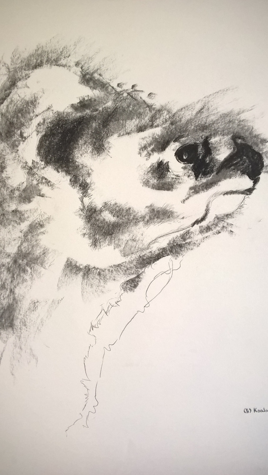 Unfinished - charcoal - koala, drawing on A3 paper